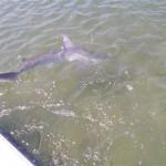Really, Really Big Bonnethead Shark